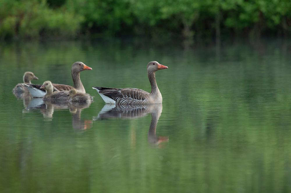Greylag goose family, Anser anser, Eriksberg, Blekinge, Sweden.
