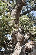 Israel, Lower Galilee, the tomb of Rabbi Aba Halafta, Mount Tabor Oak tree (Quercus ithaburensis) Estimated at 600 years