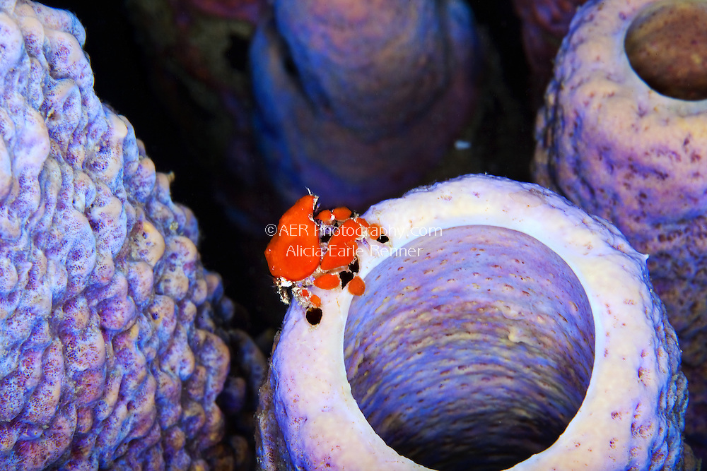 crab on tube sponge bonaire