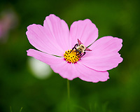 Bumblebee on a Cosmos Flower. Image taken with a Nikon D850 camera and 105 mm f/2.8 VR macro lens