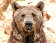 Portrait of a Syrian Bear (Ursus arctos syrianus)