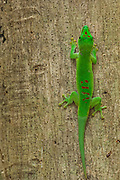 Day gecko (Phelsuma madagascariensis grandis) Ankarana Special Reserve. NW MADAGASCAR. These are among the largest of the spelsuma species on the island and can reach a lenth of 300mm. They are common in coastal areas of northern Madagascar.<br /> Phelsumas are among the most prominent reptiles in Madagascar. They are also found on other Indian Ocean Islands. They are medium-sized to large arboreal diurnal geckos with round pupils. Species from humid regions tend to be brighter green, often with red marking while species from drier regions are often grey or brown. It is thought that their very conspicuous colour patterns could function as a premating isolation mechanism which helps to prevent interbreeding of different color morphs and therefore reinforce speciation events. In contrast to most other animal groups, Phelsuma seem to benefit from deforestation and are more abundant in cultivated areas than in natural habitas. However there are a few that are only found on edges of primary forest and they are seriously threatened by habitat destruction. All the phelsumas in Madagascar glue their eggs to a substate like bark. Usually 2 eggs per clutch. Several species like Phelsuma madagascariensis grandis defend their clutches.<br /> Threats: THEY ARE HEAVILY COLLECTED FOR THE INTERNATIONAL PET TRADE.