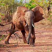 Africa, Zimbabwe, Bumi Hills. Elephants of Matusadona Park, Zimbabwe.