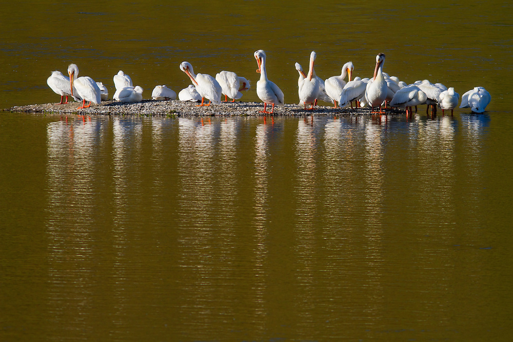 Flock of about 20 white pelicans line up on a gravel bar on the Snake River near Hagerman, Idaho on a spring day. The American White Pelican (Pelecanus erythrorhynchos) is a large aquatic bird from the order Pelecaniformes. It breeds in interior North America, moving south and to the coasts, as far as Central America, in winter. Licensing and Open Edition Prints