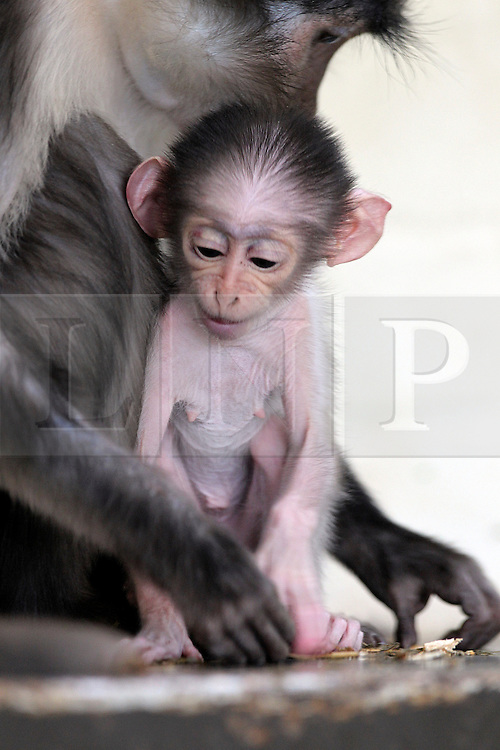 © licensed to London News Pictures. LONDON, UK  14/04/11. A tiny baby monkey born at ZSL London Zoo is giving hope to a species of primate ravaged by deforestation and poaching in the wild. Hope, a white-naped mangabey (Cercocebus atys lunulatus), was born three weeks ago to mum Bella and dad Lucky and is one of the world's rarest primates. Photo credit should read ZSL/LNP