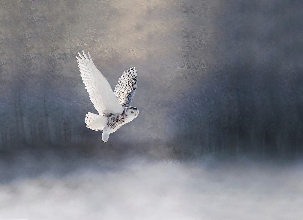 """Snowy Owl gliding through a dreamy forest<br /> <br /> This image has extra space on the sides for a canvas wrap. <br /> <br /> Available size:<br /> 18"""" x 12""""<br /> <br /> See Pricing page for more information. Please contact me for custom sizes and print options including canvas wraps, metal prints, assorted paper options, etc. <br /> <br /> I enjoy working with buyers to help them with all their home and commercial wall art needs."""