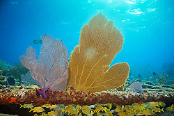 Venus or Bahamian Sea Fans, Gorgonia flabellum, showing lavender or purple and yellow or gold variation, gorwing on Sugar Wreck, the remains of an old sailing ship that grounded many years ago, West End, Grand Bahamas, Atlantic Ocean