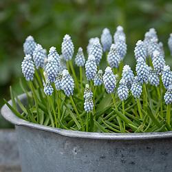 Muscari armeniacum 'Esther' - Grape hyacinth