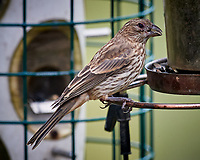 LBJ (not sure if it is a female/immature House Finch or female/immature Brown-headed Cowbird). Image taken with a Nikon D5 camera and 600 mm f/4 VR lens (ISO 450, 600 mm, f/5.6, 1/1250 sec)