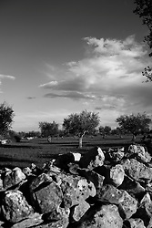 Acquaviva delle Fonti 17/10/2010, muretto a secco e sullo sfondo alcuni alberi di ulivo....La raccolta delle olive e la produzione dell'olio extravergine sono un rituale che si protrae da moltissimo tempo in Puglia, questo avviene solitamente nel periodo che va da novembre a dicembre, mentre il lavoro di preparazione e coltivazione si svolge lungo tutto l'arco dell'anno..La raccolta è seguita nella maggior parte dei casi, quando le olive non vengono vendute all'ingrosso, dalla molitura presso gli oleifici per la produzione di quello che da queste parti viene chiamato anche oro verde..