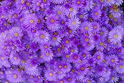 Aster Flowers, Full Frame