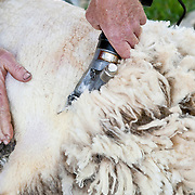20100607 Sheep Shearing Demonstration