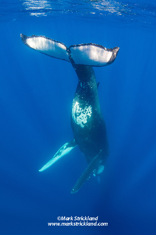 A young adult Humpback Whale, Megaptera novaeangliae, hovers in a head-down position. Moorea, French Polynesia, Pacific Ocean