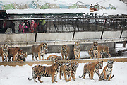A pack of tigers eye a live chicken that a tourist purchased for 60 RMB 10 USD  being ferried out to open ground at the Heilongjiang Siberian Tiger Park in Harbin, Heilongjiang Province, China on 19 December 2014.