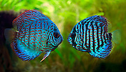 A colorful close up shot of a mating pair of tropical Discus Fish.