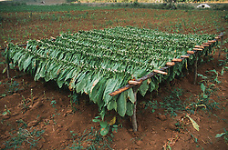 Tobacco crop hanging to dry in a field near Vinales; Pinar Province; Cuba,