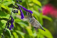 Anna's hummingbird, Calypte anna, at sage flower, Salvia sp. Santa Cruz Mountains, California