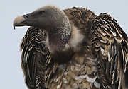Close-up portrait of a Ruppell's vulture or Ruppell's griffon vulture (Gyps rueppelli) . Tarangire National Park, Tanzania.