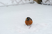 A robin resists winter conditions, trying to stay warm. Fitchburg, Wisconsin, USA.