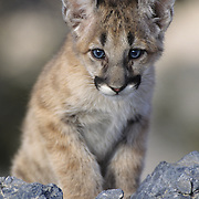 Mountain Lion or Cougar (Felis concolor) portrait of a cub in Montana. Captive Animal.
