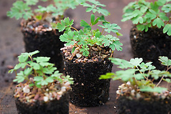 Corydalis elata. Showing grown on plugs