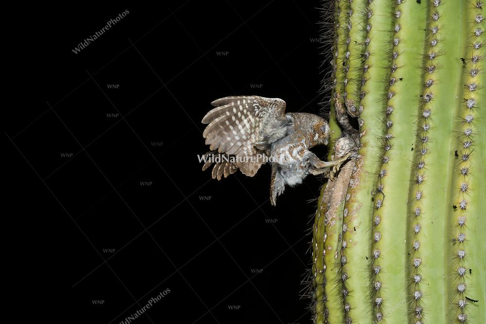 A Elf Owl (Micrathene whitneyi), eyes closed,  landing at a nest in a Saguaro cactus (Carnegiea gigantea). (Tucson, Arizona)