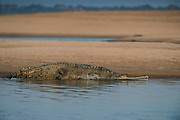 Gharial (Gavialis gangeticus)<br /> National Chambal Sanctuary or National Chambal Gharial Wildlife Sanctuary<br /> Madhya Pradesh, India<br /> Native to Indian Subcontinent<br /> CRITICALLY ENDANGERED<br /> Inhabit 2% of original range