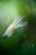 A white columbine flower grows in a city park in Seattle, Washington.