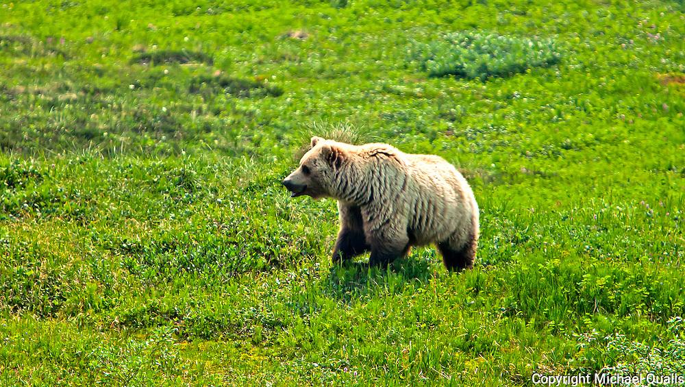 Alaskan Brown Bear, Denali NP, Alaska, USA