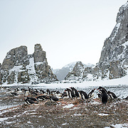Nesting Gentoo penguins on a flat section of beach on Livingston Island in the South Shetland Islands, Antarctica.