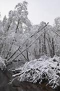 Snow covered black and grey alders overgrown with hops in grey winter day create hard to cross walls along the river coast, Līgatne river, near Nītaure, Vidzeme, Latvia Ⓒ Davis Ulands   davisulands.com