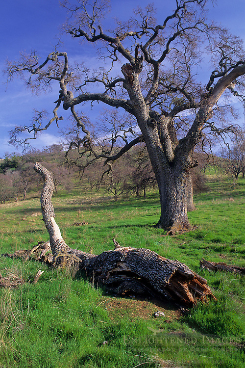 Oak tree and downed limb Mt. Diablo State Park, Contra Costa County, CALIFORNIA