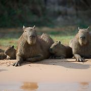 Cpybara family on the banks of the Cuiaba River, Pantanal, Brazil.