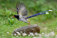 Red-billed Blue Magpie, Urocissa erythroryncha, starting off a stone in Yangxian Biosphere Reserve, Shaanxi, China