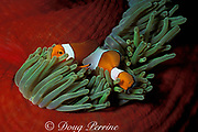 common clownfish or false clown anemonefish, Amphiprion ocellaris, in magnificent sea anemone, Heteractis magnifica, Bali, Indonesia