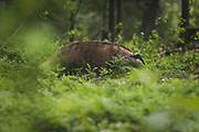 Badger (Meles meles) in coniferous forests undergrowth, Vidzeme, Latvia Ⓒ Davis Ulands | davisulands.com