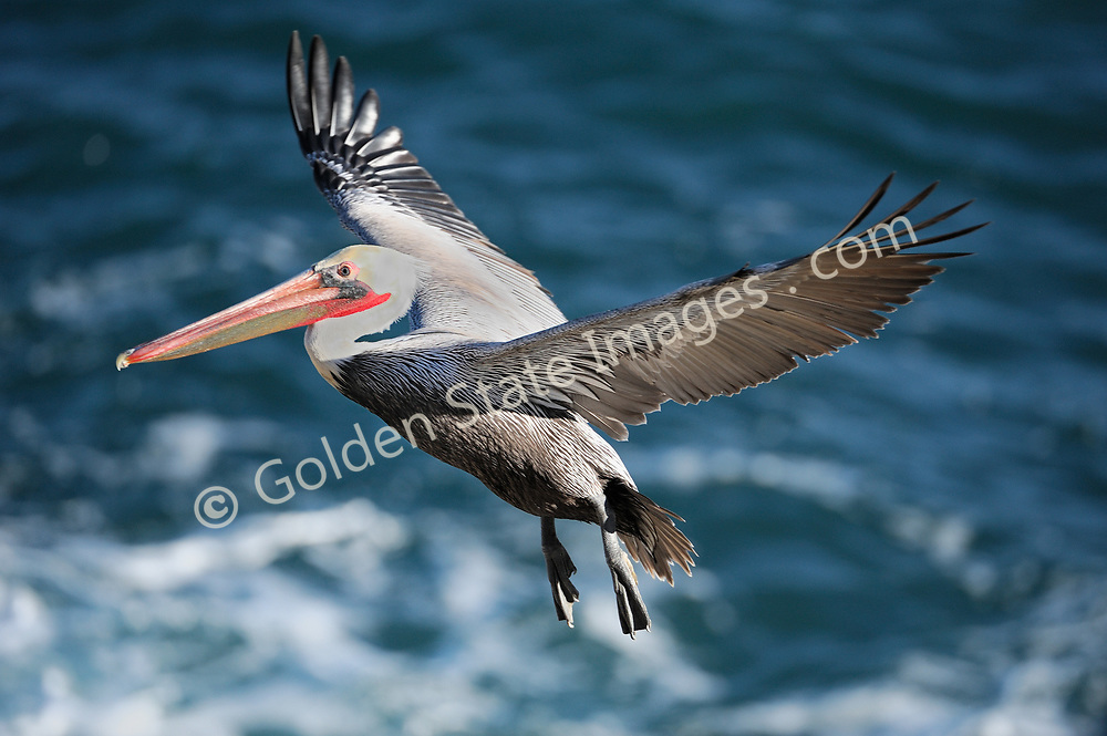 The California brown pelican is a subspecies of the widely distributed brown pelican. They live in flocks which include both sexes. They have a wingspan to over six feet.    <br /> <br /> In the sixties and seventies Brown Pelican populations plummeted due to their consumption of fish that contained the pesticide DDT.  DDT caused their eggs to be very thin and brittle which produced a very high mortality rate for their young. Due to the banning of DDT and the protection of a listing as an endangered species they are coming back.<br /> <br /> Under the protection of the endangered species act the Brown Pelican has staged a dramatic comeback. They have now reestablished nesting colonies in the Channel Islands on Anacapa and San Miguel where they had disappeared as early as 1940.    <br /> <br /> Range: Strictly coastal found on the Pacific Atlantic and Gulf Coasts.    <br /> <br /> Species: Pelecanus occidentalis