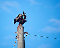 Turkey Vulture on a Power Pole Holding on During a Wind Gust. Bio Lab Road in Merritt Island National Wildlife Refuge. Image taken with a Nikon D3s and 80-400 mm VRII lens (ISO 200, 400 mm, f/5.6, 1/640 sec).