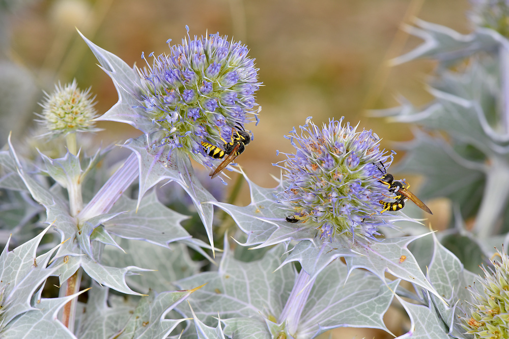 Sea-holly - Eryngium maritimum with Bee-wolf Philanthus triangulum