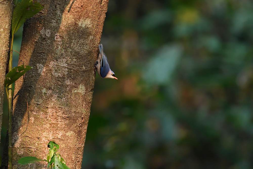 Velvet-fronted nuthatch, Sitta frontalis, Tongbiguan nature reserve, Dehong, Yunnan, China