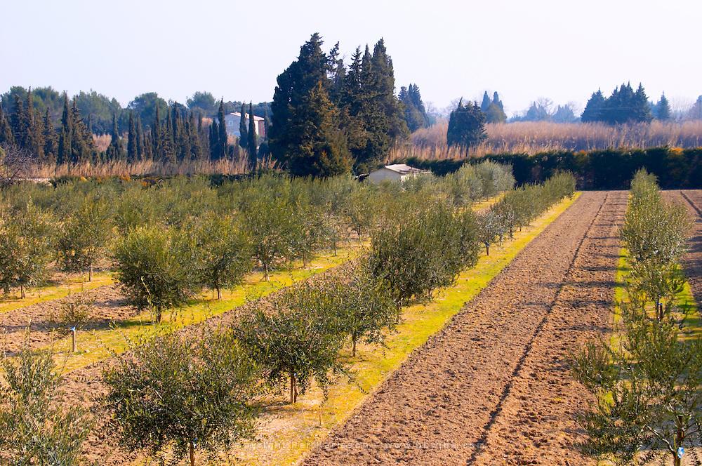 An olive tree grove at the Olive oil mill Moulin du Calanquet de Saint St Remy de Provence, Bouches du Rhone, France