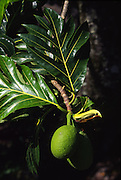 Breadfruit tree<br />