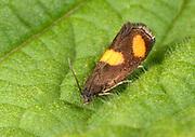 Close-up of a Orange-spot Piercer moth (Pammene aurana) resting on a leaf in a damp woodland habitat in Norfolk in summer