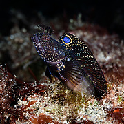 This is a male Neoclinus bryope chaenopsid blenny, active during the winter reproductive season. This species is known as koke-ginpo in Japanese.