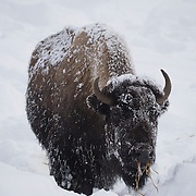 Bison (Bison bison) foraging for food near the Madison. Yellowstone National Park, Wyoming.