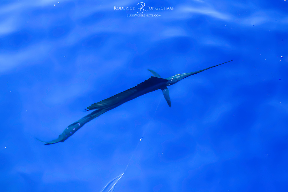Pacific Sailfish swimming beneath the surface in the crystal clear waters off Quepos, Costa Rica