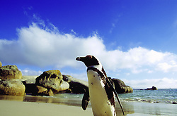 May 19, 2015 - Jackass Penguin, Boulders Beach, South Africa  (Credit Image: © G. Lenz/DPA/ZUMA Wire)