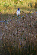 Male hen harrier (Circus cyaneus)  on the shores of Poole Harbour, Dorset, UK.