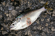 SHELLTOWN, MD, USA - 1997/09/25: A Menhaden fish with open sores from the flesh eating Pfiesteria disease outbreak in the Pocomoke River along the Chesapeake Bay September 25, 1997 in Shelltown, Maryland. The outbreak caused a loss of $43 million dollars in fishing revenue and is believed to be caused by the runoff of chicken manure from farms in the area. (Photo by Richard Ellis)