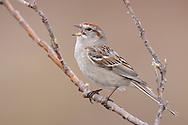 American Tree Sparrow - Spizella arborea - Adult breeding